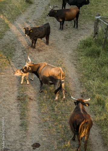 Fotografie, Obraz  Herd or Flock of  aurochs