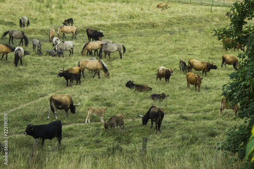 Obraz na plátně  Herd or Flock of  aurochs