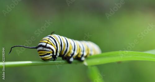 Fotografie, Obraz  Monarch caterpillar outside in the fall