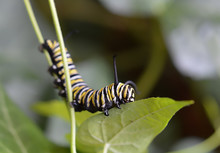 Close Up Of A Monarch Butterfly Caterpillar Eating A Leaf