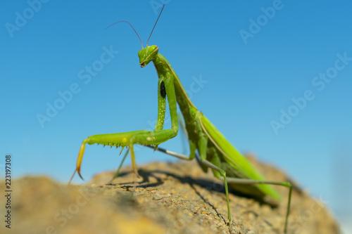 Obraz na plátně  green mantis closeup on blue sky background on brown bark of tree