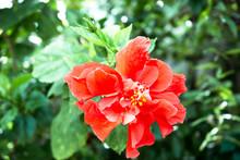 ิbloom Hibiscus On Soft Light. Nature All Around You.