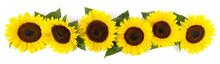Sonnenblumen - Panorama