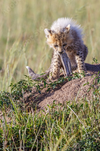 Fotografie, Obraz  Cheetah cub playing with a wooden stick
