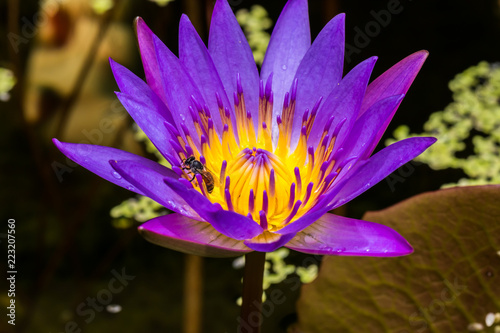 Staande foto Lotusbloem Purple lotus blossoms out beautifully