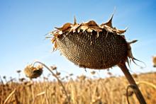 Ripe Sunflower On The Field
