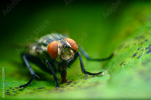 Sarcophagidae Flesh Fly