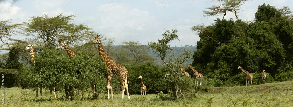 Panoramic Image with 8 Giraffes