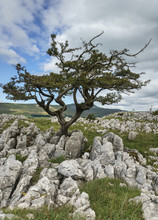 Cracked And Fissured Limestone Pavement Forming Grykes With A Single Tree