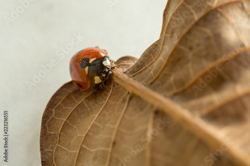 ladybug rambling on a rusted leaf macro photo