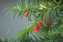 Closeup Of Taxus Baccata Branch In Public Garden