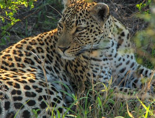 Tuinposter Luipaard Safari in South Africa