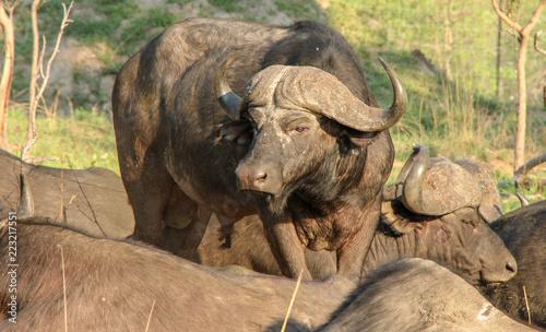 Staande foto Buffel wildlife on safari
