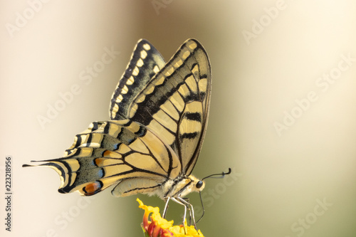 Fotografie, Obraz swallowtail