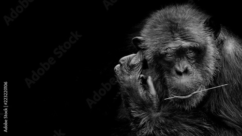 Fototapeta premium Black and White portrait Cutie Gorilla bite branch in his mouth on black background