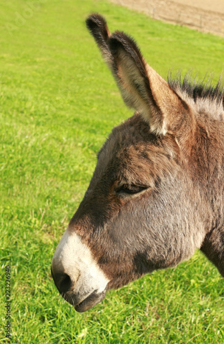 head of a donkey on a pasture