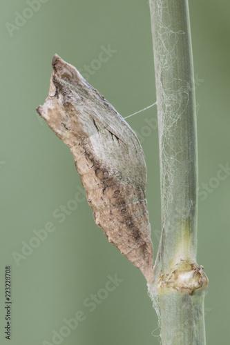 Fotografie, Obraz Black Swallowtail Caterpillar Butterfly Chrysalis on Fennel Plant