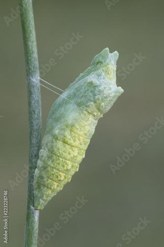 Fototapeta Black Swallowtail Caterpillar Butterfly Chrysalis on Fennel Plant