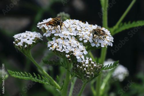 Insects feeding on flowers of Yarrow (Achillea Millefolium), a medicinal herb tr Fototapeta