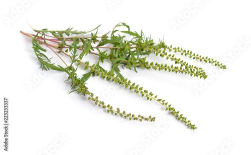 Photo Ambrosia artemisiifolia, ragweed, annual ragweed or low ragweed
