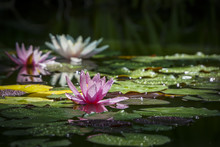Three Beautiful Water Lilies Marliacea Rosea In The Morning Sun. The Pink Nymphaea Is Centered In Focus, The Other Are In Background Soft Focus. Flowers And  Leaves In The Dew. Place For Your Text.