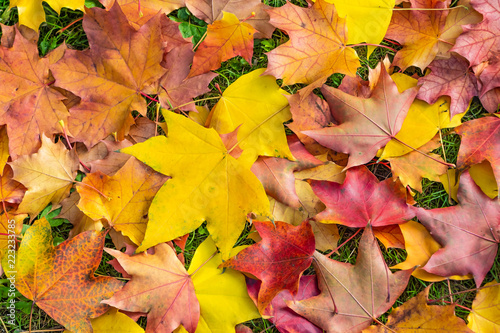 Fotografia  The bright yellow green and red carved maple leaves are lying on a green grass