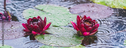 Garden Poster Lotus flower Beautiful bright Nature Floral Background with waterlily in the rain. Red lotus flowers growing in pond, banner