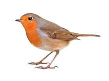 Robin (Erithacus Rubecula) Iso...