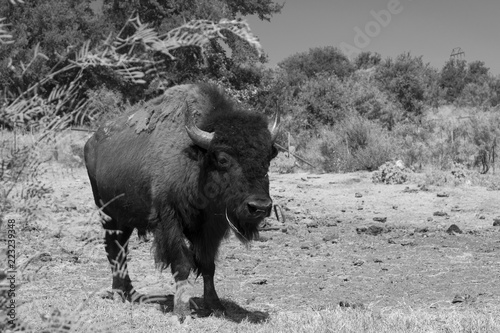 Large American Bison or Buffalo walking in black and white