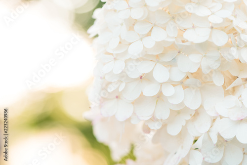 Garden Poster Hydrangea Delicate white Hydrangea flowers on blur nature green background. Close up shot.