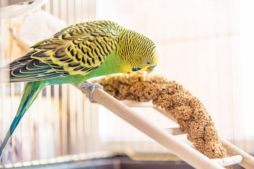 Parrot eats from dry ear grass. Cute green budgie sits in birdca