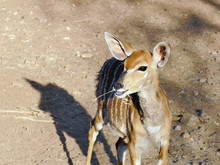 The Nyala Scientifically Known As Tragelaphus Angasii Is A South African Antelope With White Stripes On The Body For The Females And Spiral Horned For Males