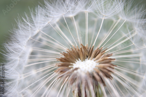 Dmuchawiec, kwiat makro - 223247576