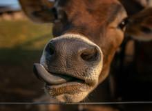 Vaca Jersey Fazenda Língua Ga...