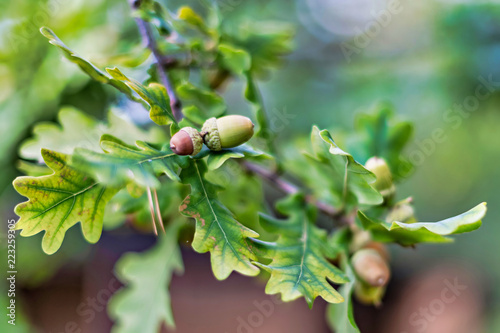 Acorns on a oak tree with green lush leaves