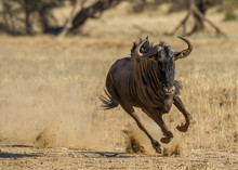 Hartebeest Running On Grassy L...