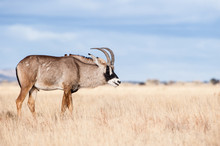 Portrait Of A Roan Antelope, South Africa