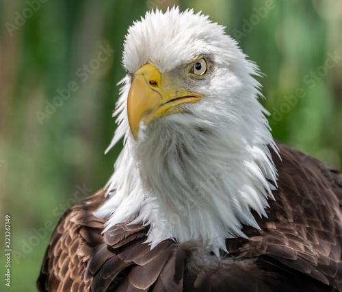 Foto op Aluminium Eagle Bald Eagle