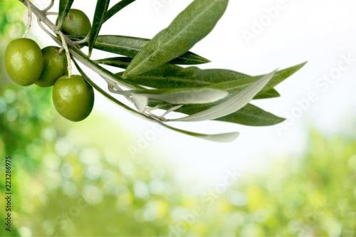 Olives on olive tree branch on background