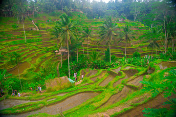 Rice field in Bali, Indonesia. Bali is an Indonesian island and known as a tourist destination. In Bali, rice harvest seasons come three times in a year.