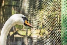 White Swan Farm Type Of Bird Close Animal Portrait