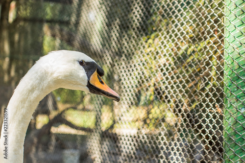 Poster Cygne white swan farm type of bird close animal portrait