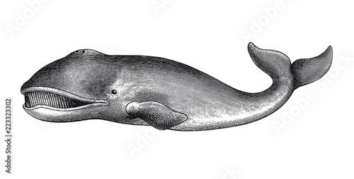 Naklejka premium Wieloryb grenlandzki Grawerowanie Vintage ilustracji