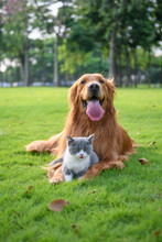 Golden Retriever And Kitten Pl...