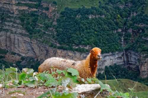 Brown llama on left green background blurred with small shadow brown furry farm animal portrait in mountain