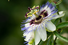 Close-up Of The Flower Of Passiflora Edulis Or Passion Flower