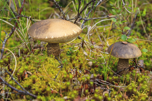 tundra, a small mushroom on the background of moss Canvas Print