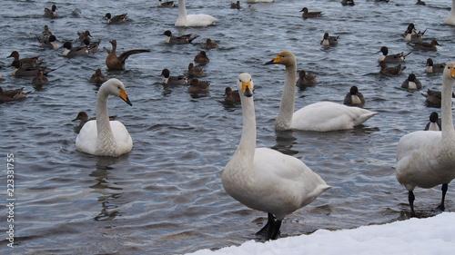 青森 浅所海岸の白鳥