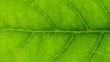 detail of a green leaves texture - background