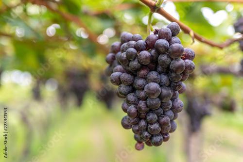 Fotografía  Grande grappolo d'uva nera sulla vite nel vigneto